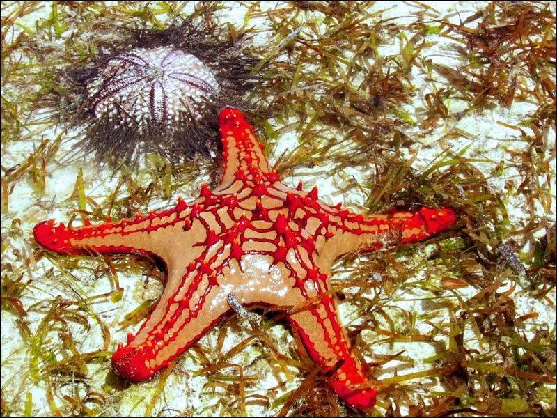 Les étoiles de mer, dans leur grande majorité ...