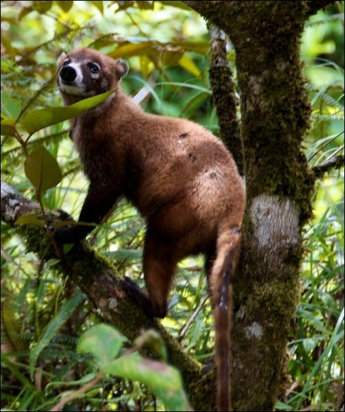Petit carnassier d'Amérique du Sud, il vit en troupe !