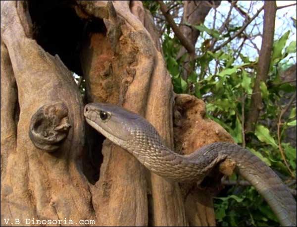 En dehors de sa morsure, potentiellement mortelle, quelle est la particularité du mamba noir africain ?