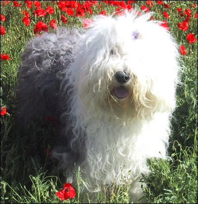 Bobtail ou Bearded Collie ?