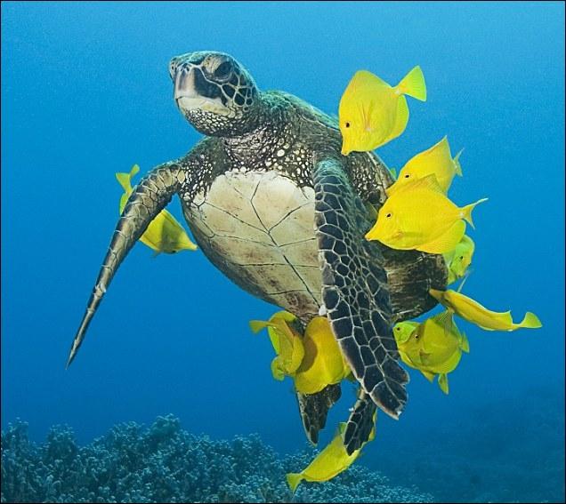 Cette tortue va se nourrir de ces poissons !