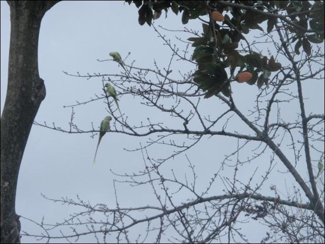 Des perruches à collier sauvages se reproduisent en France !