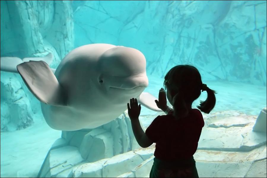 Le globicéphale est un dauphin !