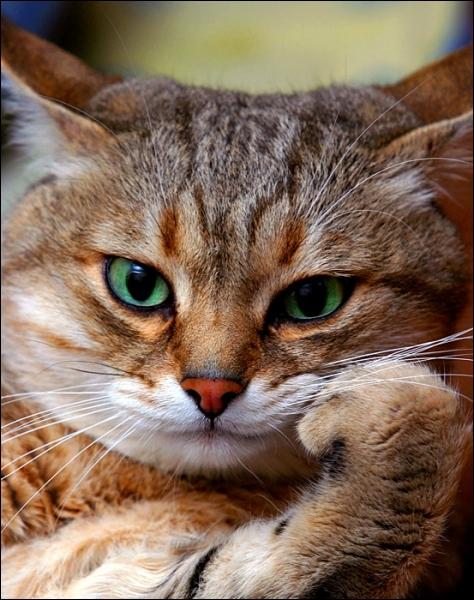 Le chat a trois paupières à chaque oeil !