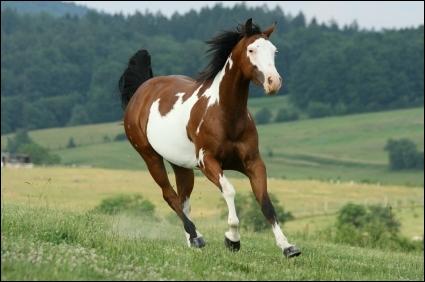 Les races de chevaux. Quiz QCM Chevaux, Races