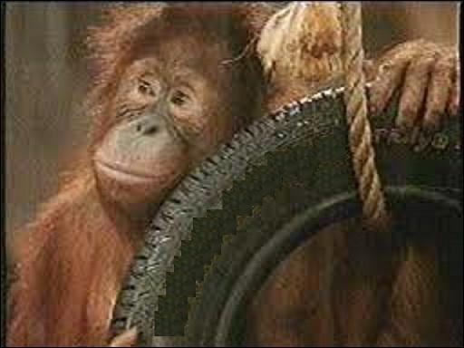 Cet orang-outan n'utilise que les pneus de la marque...