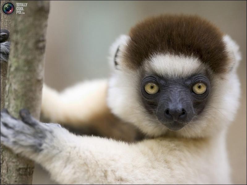Je suis un animal endémique de ce pays africain, je suis un lémurien !