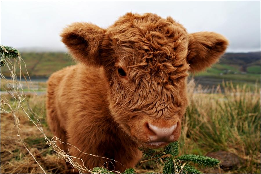Je suis un veau de la race  Highland , si vous voulez me voir dans mon pays d'origine, prenez l'avion pour ...