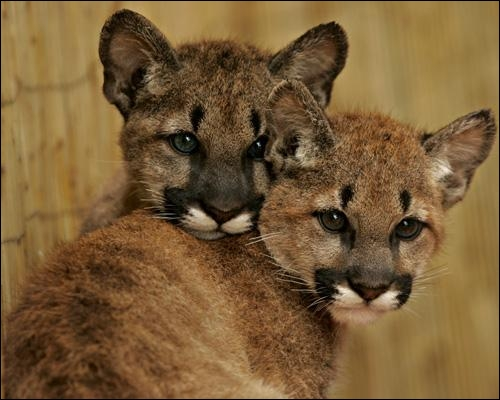 L'une de mes appellations est  lion des montagnes , mais en fait je vis du Nord au Sud des Amériques, y compris dans la jungle, et même sur les rives du fleuve Maroni !