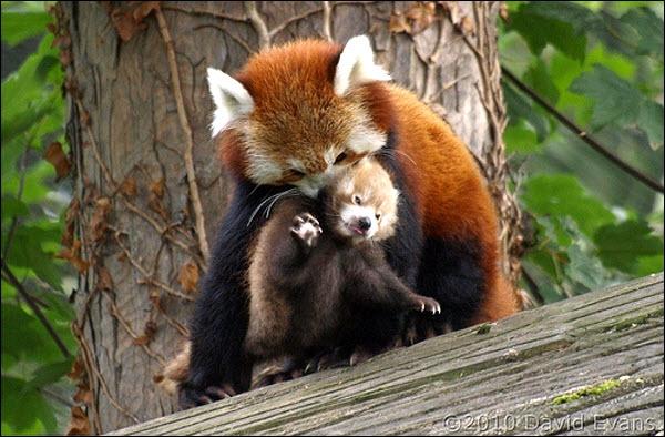 Le petit panda ou panda roux vit en Afrique !