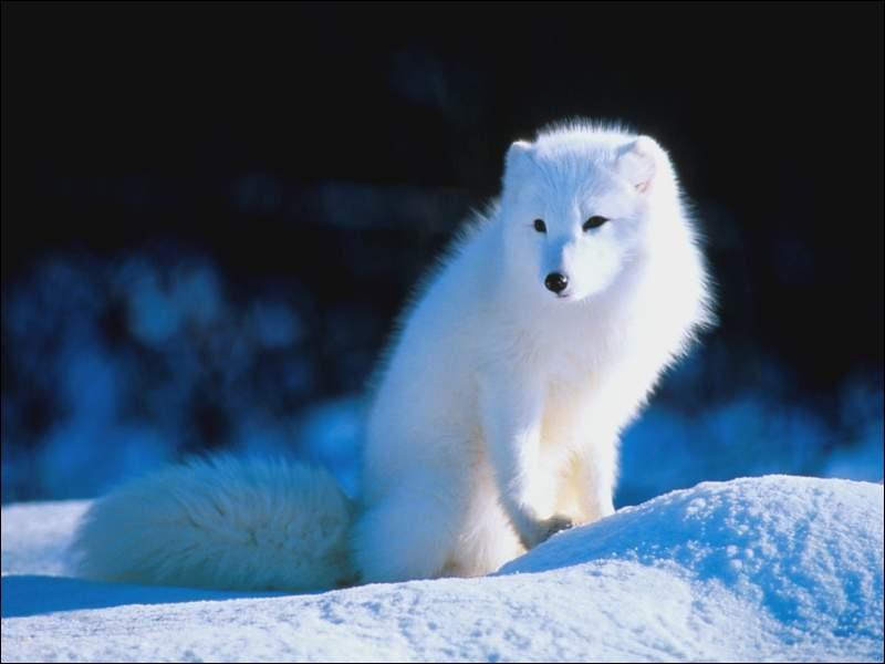 L'isatis est aussi appelé renard argenté !