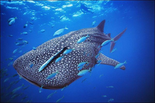 Le requin baleine est un cétacé !