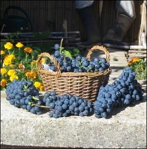 Lequel de ces cépages est un cépage utilisé comme raisin de table et non pour l'élaboration du vin ?