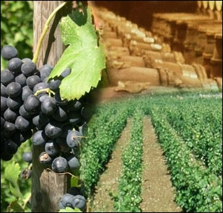Autour de quelle ville ont été implantés les premiers vignobles en Gaule, vers l'an 600 av J-C par les phocéens ?