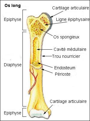 En général, les os humains pèsent environ pour un homme et une femme :