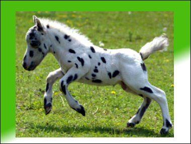 Ce petit cheval de 35 cm serait le plus petit du monde. De quelle race est-il ?