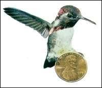 Le zunzuncito endémique à Cuba, plus petit oiseau du monde, n'est pas plus gros qu'un bourdon.