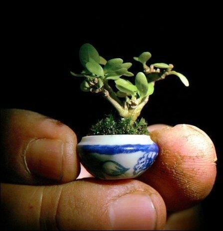 Le plus petit ... . du monde, cultivé en Asie, fait exactement 22 millimètres.