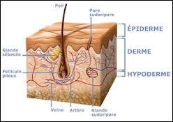 Déterminez correctement les cellules qui constituent la couche externe de notre épiderme ?