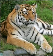 Quel est l'autre nom du Tigre de Sibérie ?