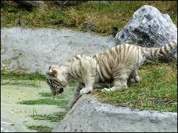 A quelle famille appartient le tigre de Sibérie ?