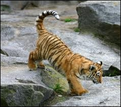 Dans la nature, combien de temps vit un tigre de Sibérie ?