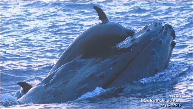 Pourquoi cette baleine n'aime-t-elle pas les massages thaïlandais ?