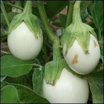 Peut être cultivée en pot pour la décoration avant d'être remarquablement accompagnée par d'autres légumes de saison entrant dans des préparations estivales savoureuses.