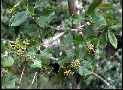 Cette plante a pour nom balenbo en langage bambara. Les fruits mûrs sont noirâtres avec un point blanc au centre ce qui lui attribue communément l'appellation de :