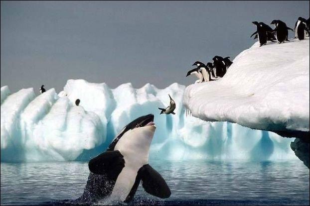 Que pourrait crier l'orque aux autres membres de son groupe ?