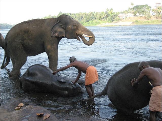 Ces éléphants sont des éléphants d'Afrique !