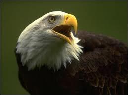 Je suis un oiseau rapace diurne de grande taille construisant mon aire dans les hautes montagnes. Je suis un/une... .
