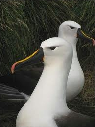 Je suis également un oiseau mais palmipède des mers australes, bon voilier, je suis très vorace. Je suis un/une... .