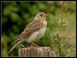 Je suis un oiseau passereau à plumage brunâtre, commun dans les champs, je niche au sol. Je suis un/une... .