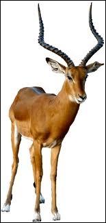 Je suis un mammifère ruminant sauvage d'Asie ou d'Afrique et je fais partie de la famille des bovidés. Je suis un/une... .