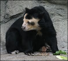 Particulièrement agile, il grimpe dans les arbres où il y construit des nids de branchages. Préférant les sorties nocturnes aux diurnes, il arpente la chaîne des Andes.