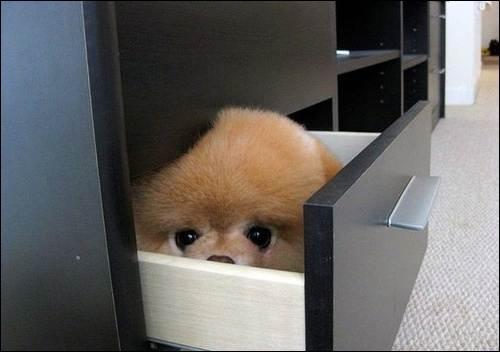 Ce renard est caché dans un tiroir !