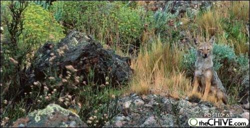 Trois chacals sont camouflés dans la végétation !
