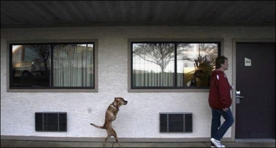 C'est un trucage, un chien ne peut pas se tenir debout et marcher continuellement sur deux pattes !