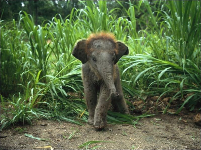 Manifestement, cet éléphanteau vient d'Afrique !