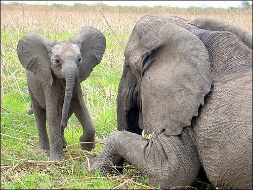 Manifestement cet éléphanteau vient d'Asie !