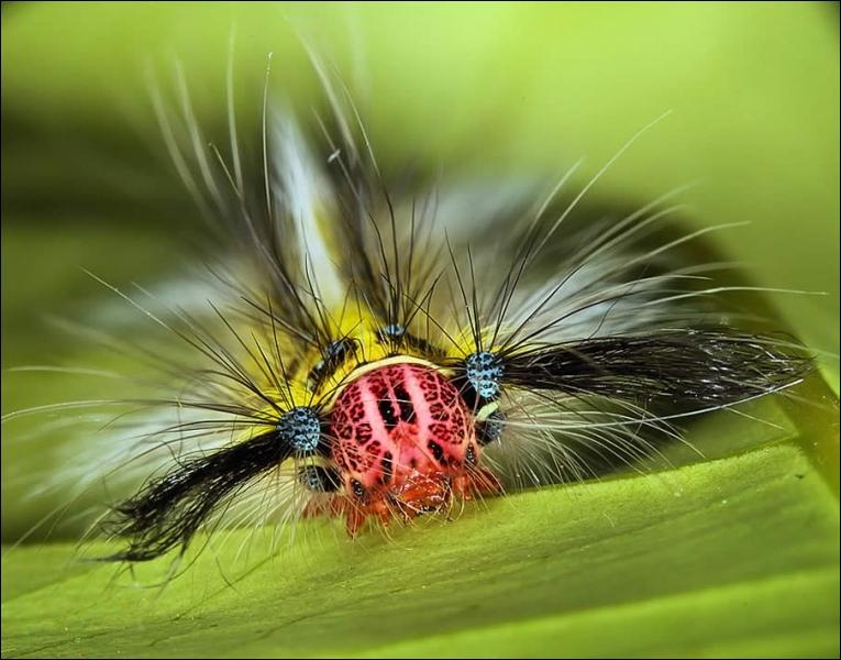 Une redoutable espèce, fort heureusement très rare, la scolopendre à moustaches !