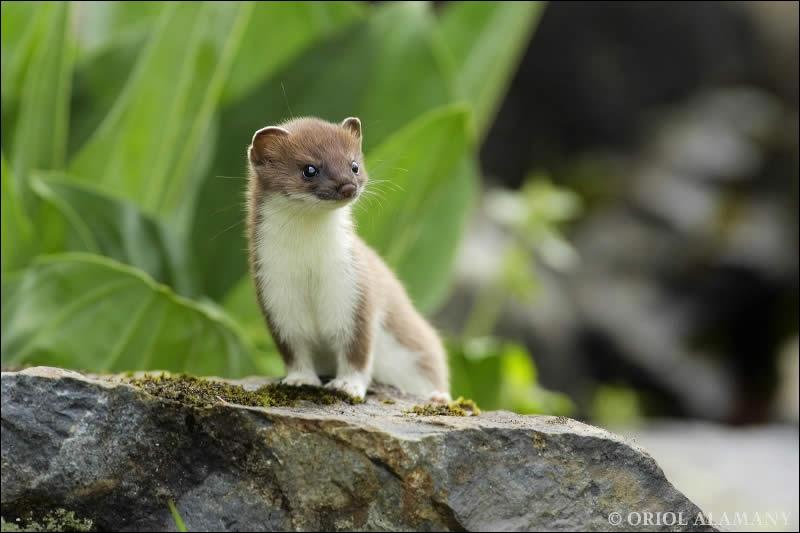 C'est un petit prédateur, les belles se paraient autrefois de sa blanche fourrure d'hiver, il s'agit de l'hermine !