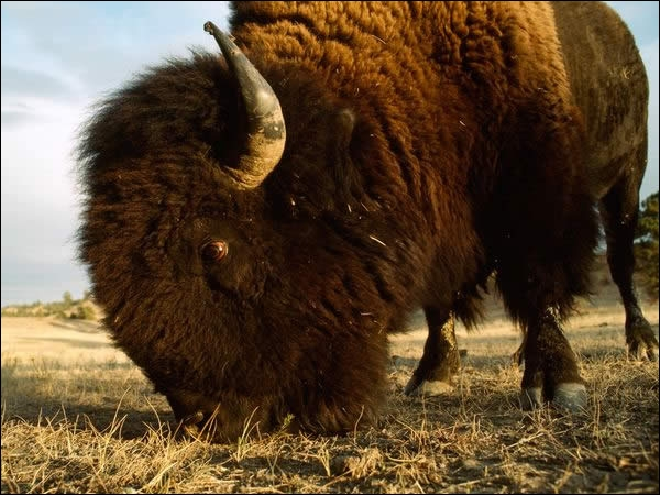 On trouve des bisons sauvages en Europe !