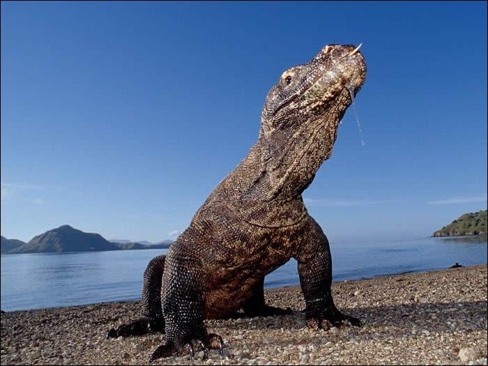 Il n'est plus à présenter, c'est le dragon de Komodo !