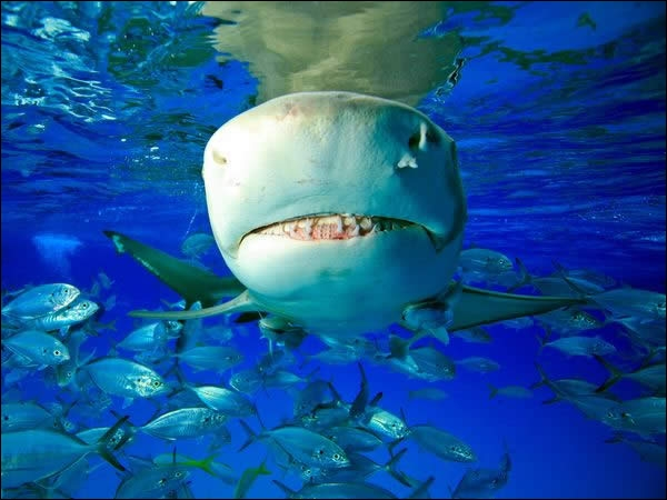 Il porte le nom d'un agrume, c'est le requin-orange !