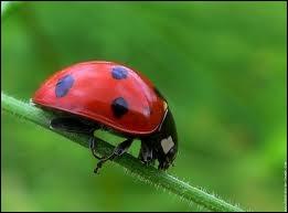 Je suis un petit insecte coléoptère qui se nourrit de pucerons et on me surnomme  la bête à bon dieu . Je suis un/une :