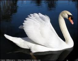 Je suis un oiseau palmipède migrateur, au long cou souple, dont une espèce toute blanche est souvent domestiquée. Je suis un/une :