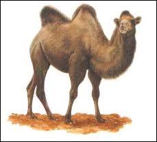 Je suis un mammifère ruminant d'Asie centrale, à deux bosses graisseuses sur le dos, adapté à la vie dans les régions arides où je sers de monture et d'animal de trait. Je suis un :