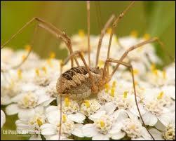 Je suis un arachnide aux pattes très longues et grêles, commun dans les prés et les bois et je me distingue des araignées par l'absence de venin et de soie. Que suis-je ?
